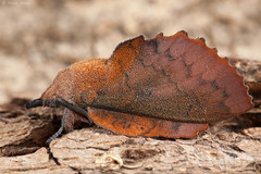 The Lappet (Gastropacha quercifolia). (od0man) Tags: thelappet gastropachaquercifolia lasiocampidae pinarinae lepidoptera insect moth macro reared camouflage macrolife liden swindon wiltshire uk