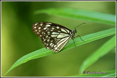 8147 - dark blue butterfly (chandrasekaran a 50 lakhs views Thanks to all.) Tags: darkbluetiger butterfly insects india chennai nature canoneos6dmarkii tamronsp150600mmg2