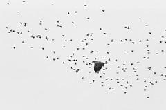 Adler & Stare (IIIfbIII) Tags: seeadler adler eagle stare vögel flug schwarzweis schwarz weis blacknwhite blackandwhite bw white nature naturephotography naturfotografie natur bird birdphotography animalphotography animal canon minimal monochrome art fineart zen mecklenburgvorpommern mv