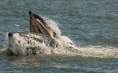 Lunge feeding humpback whale - off Far Rockaway, New York (superpugger) Tags: whale whales humpback humpbacks gothamwhale americanprincesscruises americanprincess farrockaway menhaden bunker feeding baleen baleenwhales humpbackwhales whalewatching marinemammals marinemammal mammals mammal lpugliares new york newyorkcitywildlife newyorkcitynature lawrencepugliares
