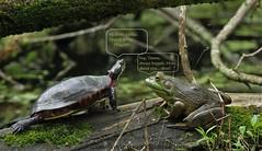 old friends (don.white55 That's wild...) Tags: americanbullfroglithobatescatesbeianus paintedturtlechrysemyspicta canoneos70d tamronsp150600mmf563divcusda011 wildwoodlake wildwoodpark pennsylvania pennsylvaniacanal pennsylvanialakes marsh bog