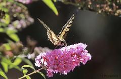 Beautiful Visitor (EPGraphics) Tags: butterfly schmetterling swallowtail schwalbenschwanz canon eos 70d wien vienna austria österreich animal tier insekt insect
