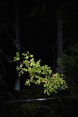 Floating rowan (Olli Tasso) Tags: rowan tree forest pihlaja landscape maisema nature luonto outdoors luontokuva maisemakuva dark moody finland suomi metsä lempäälä pimeä säijä