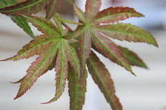 My Japanese Maples 4 (Richard Elzey) Tags: japanese maples japan small bonsai pink green awesome trees tree