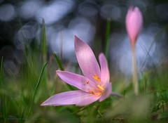 Late blossoms (Petra Ries Images) Tags: fzuiko32mmf17 autumncrocus colchicumautumnale herbstzeitlose blume blüte flower blossums autumn manualfocus manuallens bokeh