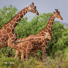 _AJ26687 copy (alj70) Tags: kenya reticulatedgiraffe samburunationalpark