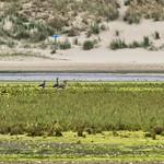 Geese in De Slufter, Texel thumbnail