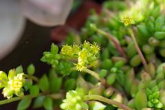Lenophyllum acutifolium