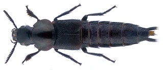 Quedius dilatatus (Fabricius, 1787) Syn.: Velleius dilatatus (Fabricius, 1787)