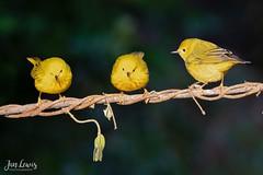 Larry, Moe, and Curly (jklewis4) Tags: alanmurphyworkshop briansmall galveston texas yellowwarbler bird birds gray greenish grey nature springmigration warbler woodwarbler yellow