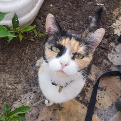 Friendly cat (bertrandwaridel) Tags: 2018 labalancel september switzerland vaud animal calico cat summer echallens suisse
