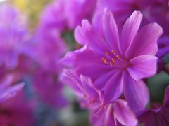 Little Lewi still stealing the show  ... 😍😍 (☜✿☞ Bo ☜✿☞) Tags: lewisia flower plant fleur flora fauna dof outdoor outside yard backyard flowers blur canong16 powershot macro bokeh closeup summer vacation day summer2018 august september floral natur home nature bright england britain uk europe european me depthoffield camera natural country 7dwf national smile fun naturephotography new plants morning view pretty style sunshine naturaleza colourful cielo auto ciel fall garden pink colour green yellow brown colours flickr leaf countryside sunny leaves texture nyc festival paysage family couple