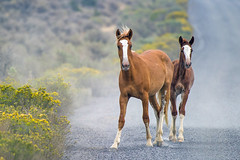 Wild Wild Horses 2 (Tom Fenske Photography) Tags: steens horse wild desert oregon blm southsteens