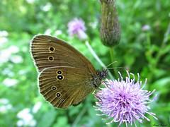 Butterfly 1730 (+1300000 views!) Tags: butterfly borboleta farfalla mariposa papillon schmetterling فراشة