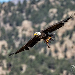 Bald Eagle flies by with breakfast thumbnail