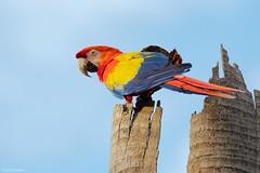 Ara macao (Wildlife and nature - Colombia) Tags: scarletmacaw aramacao guacamayabandera guacamaya macaw medellin