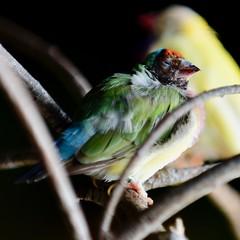 ...trying to sleep here... (R.A. Killmer) Tags: bird avian aviary kingdom feathers sleepy ruffled light shadow beak ontario canada gouldian finch talons branch fly
