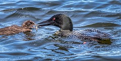 This Is For You, Little One (Wes Iversen) Tags: clichesaturday commonloon gaviaimmer hcs michigan seney seneynationalwildliferefuge up upperpeninsula birds chick feeding fish minnows nature water waves wildlife