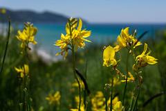 The Colors of Summer (andbog) Tags: seascape nature natura landscape sea mare beach spiaggia flora fiore mediterranean mediterraneo corfù gr grecia greece ioniansea marionio paralia kerkyra κέρκυρα ελλάδα sonya6000 sony alpha ilce a6000 emount mirrorless csc sonya oss sel selp1650 1650mm sonyα sony⍺6000 sonyilce6000 sonyalpha6000 sonyalpha ilce6000 apsc summer estate shoreline costa coast ⍺6000 greek paesaggio α6000 arillas αριλλα ionianislands