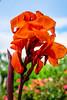 Canna Lily (San Francisco Gal) Tags: canna lily flora flower fleur bloom blossom bokeh