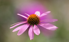 Friday's Flower Power (AnyMotion) Tags: easternpurpleconeflower purpursonnenhut echinaceapurpurea phlox bokeh blossom blüte 2018 plants pflanzen anymotion nature natur blumen floral flowers frankfurt 7d2 canoneos7dmarkii garden garten colors colours farben pink rosa summer sommer été verano zomer estate ngc npc