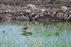Lesser whistling duck (ताम्रहंस, सिल्काही) - Dendrocygna javanica (jhureley1977) Tags: lesserwhistlingduck ताम्रहंस सिल्काही dendrocygnajavanica birds birding birdsofindia ashjhureley avibase naturesvoice bbcspringwatch rspbbirders orientbirdclub ashutoshjhureley rspb jabalpur jabalpurbirds