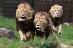 run to the food - Auf zum Essen (Noodles Photo) Tags: carnivora raubtiere feloidea katzenartige felidae katzen pantherinae groskatzen panthera eigentlichegroskatzen pantheraleo löwe lion vulnerable zooparcoverloon overloon netherlands niederlande afrikaanseleeuwen leeuwen canoneos7dmarkii tamronsp150600mmf563divcusdg2