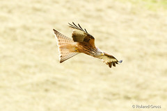 Rotmilan 18 (rgr_944) Tags: vögel vogel bird oiseau tiere animaux animals natur outdoor canoneos80deos7dmk2eos5dmk4 rgr944