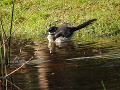 grey wagtail bathing (jeaniephelan) Tags: greywagtail wagtail bird