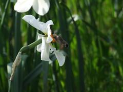 sfinge alata (FuturAlex) Tags: macroglossum sfinge falena farfalla butterfly moth