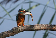 Equivalent of the Big Mac in the kingfisher world (Pikingpirate1) Tags: kingfisher snack large rspb ngc wild fisher