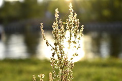Last Days of Summer (Robin Shepperson) Tags: sun summer light yellow berlin germany d3400 nikon water canal park whithered dried flowers plant nature evening aqua reflection green