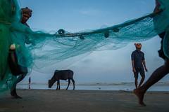 Fishermen (SaumalyaGhosh.com) Tags: fishermen people color india beach sea blue net fishingnet cow men water street streetphotography fuji fujifilm