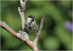 Young Great Tit (jenny*jones) Tags: younggreattit parusmajor aug2018 westyorkshire gtbritain canon7dmarkii birdphotography canon100400mmii