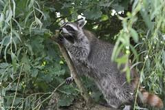 Raton laveur (Passion Animaux & Photos) Tags: raton laveur raccoon racoon procyon lotor parc animalier saintecroix france