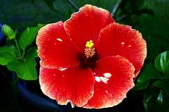 Sublime Hibiscus Aute rouge de Tahiti (Christian Chene Tahiti) Tags: sony dx100 paea polynésiefrançaise tahiti hibiscushybride pollen nature hibiscus macro flower flore fleur couleur rouge polynésie color floredepolynésie floredetahiti fleurdetahiti fleurdepolynésie closer closeup poil tiare aute flores fleurdesîles red yellow brillant