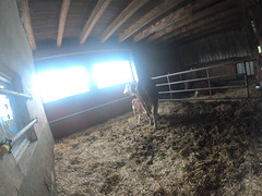 G0050329 (harleyhurricane1) Tags: monday27th cornsilage cows calves silagevault kronesilagechopper cowhall milkbarn germany silage case185puma case165puma silagetrailers