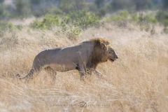 Leeuw - Panthera leo (rinus64) Tags: leeuw pantheraleo d500 nikon southafrica zuidafrika krugernationalpark lion satara