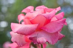 Big and pink - HSS! (JSB PHOTOGRAPHS) Tags: jsb5375 pinkrose bokehlicious nikon d600 owenmemorialrosegarden bokeh eugeneoregon sliderssunday hss soapbublebokeh