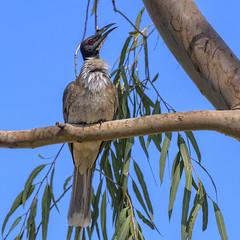 prehistoric - a noisy friarbird (Fat Burns ☮ (gone bush)) Tags: noisyfriarbird philemoncorniculatus honeyeater bird australianbird fauna australianfauna nature outdoors nikond500 nikon200500mmf56eedvr barcaldine queensland australia outback australianwildlife wildlife