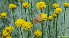 Phalène ocreuse dans un massif d'Immortelles d'Italie (Entraigues sur la sorgue - Vaucluse - 1er juin 2018) (Carnets d'un observateur de la nature du Sud de la) Tags: fleur immortelleditalie nature biodiversité insecte papillon phalèneocreuse macro proxy microcosmos entraiguessurlasorgue vaucluse provence
