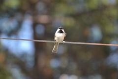 2018-09-10 Bird Watching 25 (s.kosoris) Tags: skosoris nikond3100 d3100 nikon bird birds chickadee camp huronian