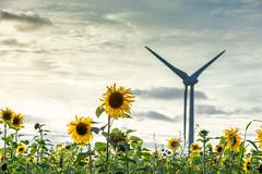 Sunflowers (johan wieland) Tags: petten reactor sunflower sunflowers zonnebloem zonnebloemen zonnenbloem