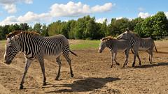 Grévy Zebras - Beekse Bergen - Noord-Brabant - The Netherlands (Felina Photography - www.mountainphotography.eu) Tags: grévyzebra zebra wildlife beeksebergen safari safaripark holland noordbrabant