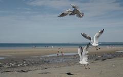 Lunch time (ericguéret) Tags: mouettes seagull bretagne brittany sunday playa beach dimanche september septembre baiedesaintbrieuc lesrosaires lamanche lowtide bassemer soleil sun sunny ensoleillé sand côtes darmor