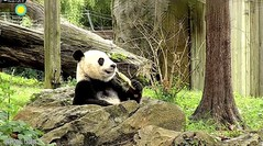 2018_09-11h (gkoo19681) Tags: beibei chubbycubby fuzzywuzzy adorableears brighteyed toofers treattime sugarcane soyummy delicious savoring cooldude posing sohappy toocute beingadorable meltinghearts precious darling amazing comfy ccncby nationalzoo