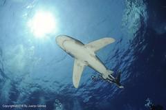 Longimanus (Juanjo Gomez) Tags: longimanus redsea marrojo shark underwater undersea