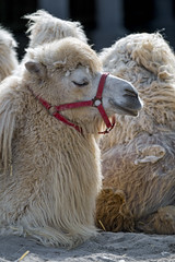 Profile of a beige camel (Tambako the Jaguar) Tags: camel white beige camelid lying profile portrait relaxing calm kinderzoo knie zoo rapperswil switzerland nikon d5