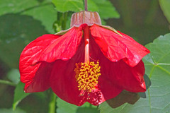 Flowering Maple (Dave In Oregon) Tags: abutilon floweringmaple flower malvaceae nature bloom summer oregon rainieroregon