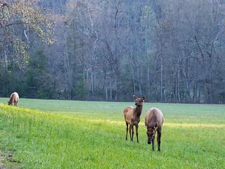 IMGPJ06216C_Fk - Great Smoky Mountain National Park - Elk